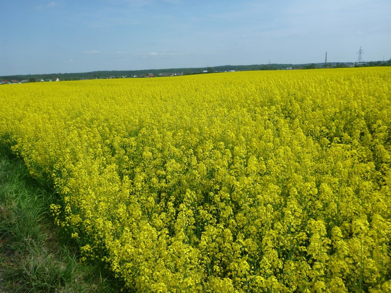 Yellow Fields Tourist Kokoszkowy