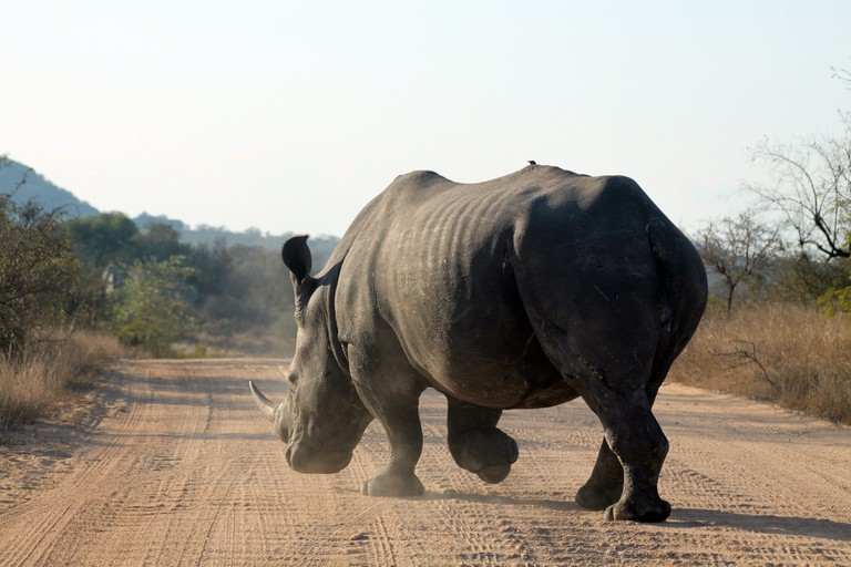 Hippo crossing the road in the Kruger National Park