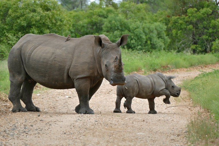 Female rhino with calf in the Kruger National Park