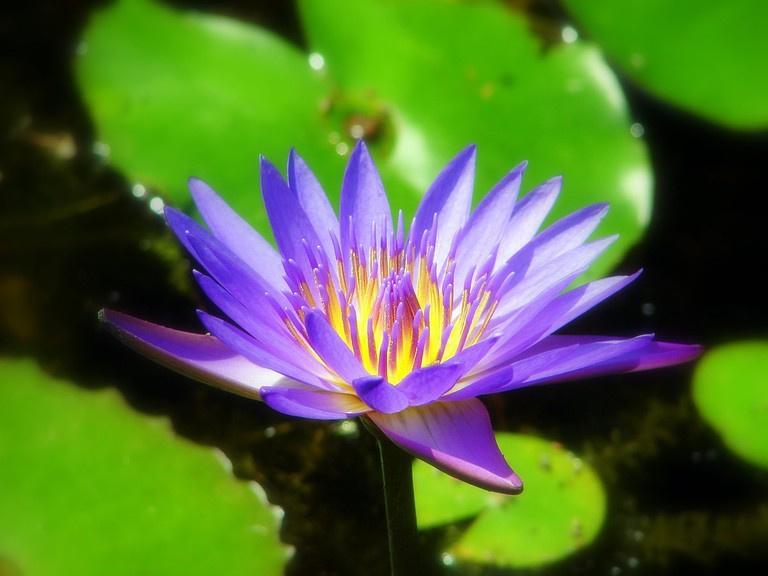 Lotus 11 facts about vietnams national flower the colors have different meanings mightylinksfo