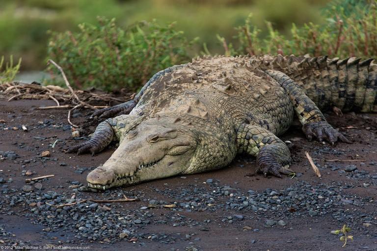 crocodiles near Jacó