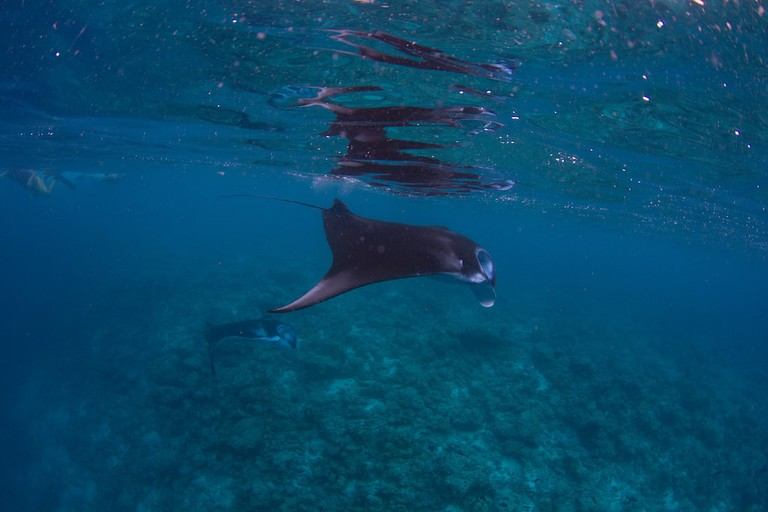 Manta rays in Costa Rica