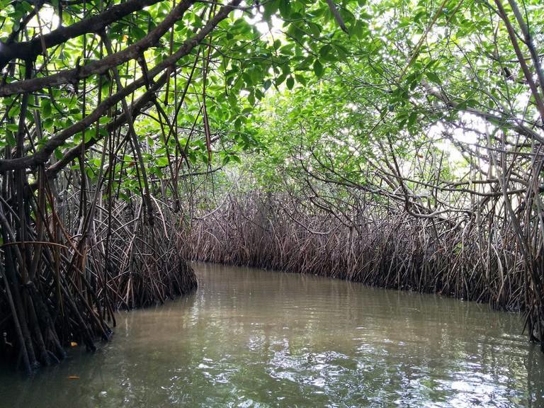 mangrove forest in Costa Rica