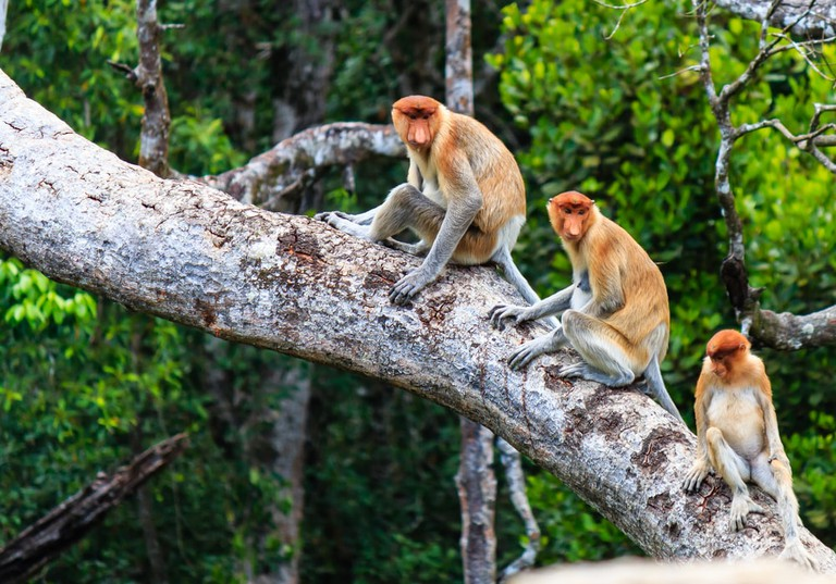 See the long-nosed monkeys in their natural habitat.