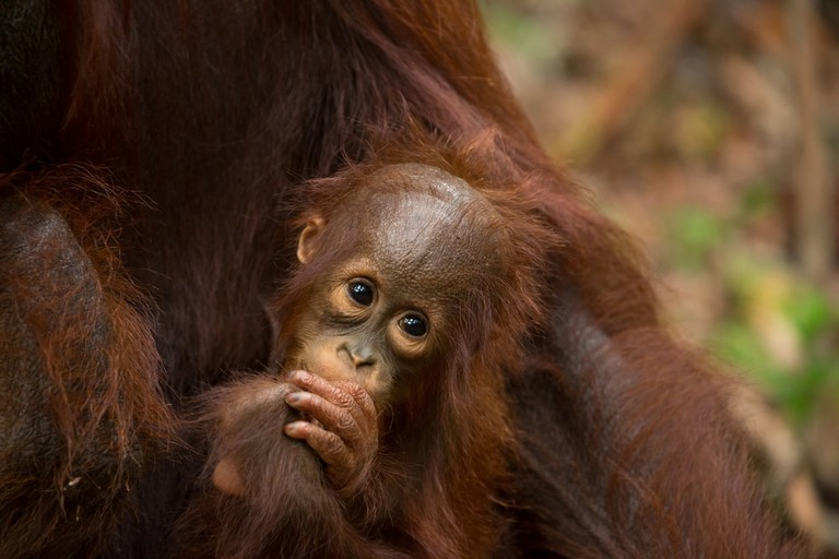 Baby Orangutan in south Borneo, Indonesia