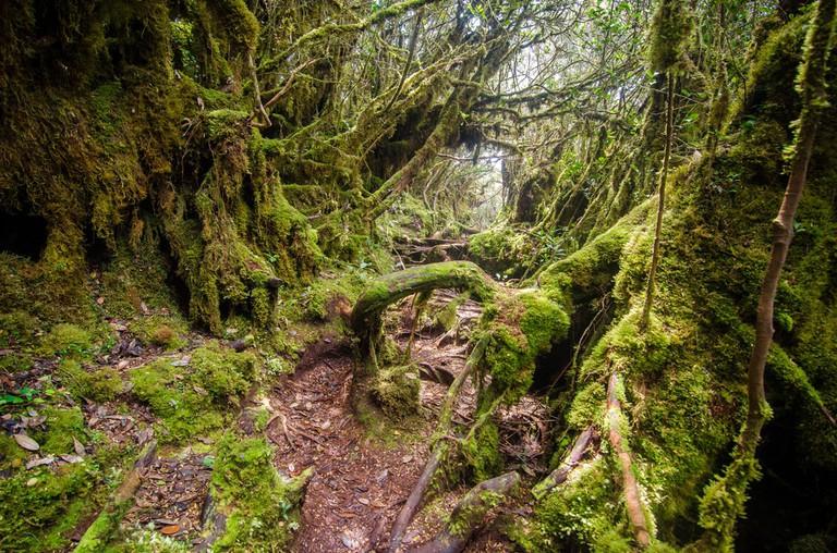 Malaysian mossy forest, Gunung Irau, cameron Highland, Malaysia