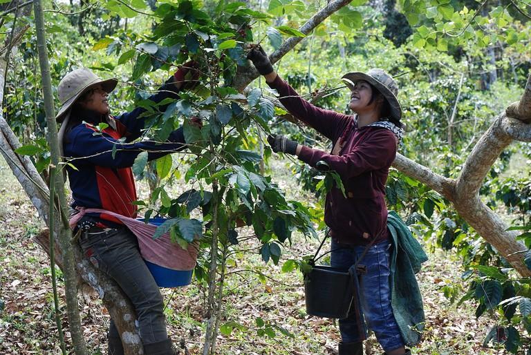 1200px-Coffee_Harvest_Laos
