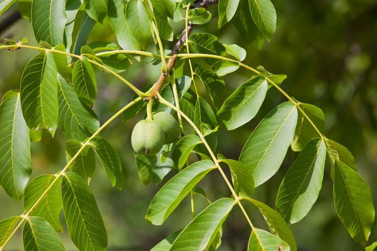 Green english Walnuts unripe Persian Walnut (Juglans regia) with leaves on walnut tree branch 119078_Wallnuts