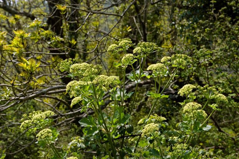 Alexanders, Smyrnium olusatrum, flowering plant on a Devon cliffside