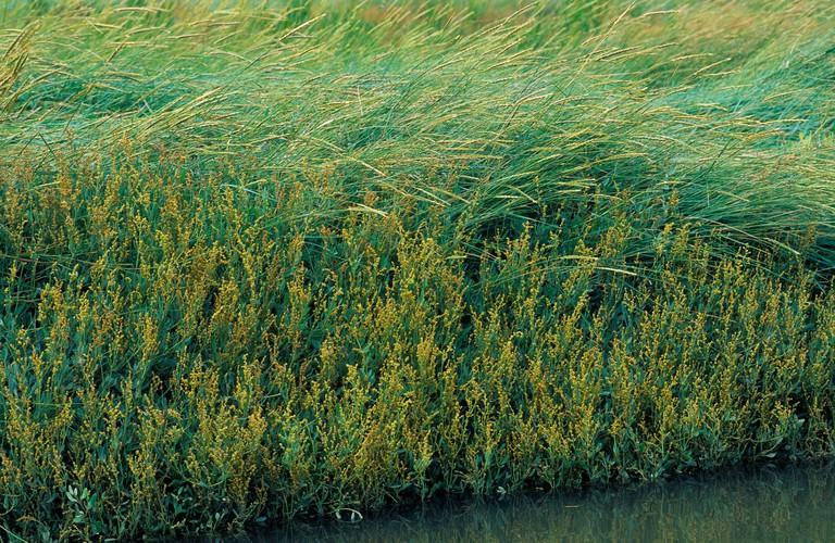 Sea purslane (Atriplex portulacoides, Halimione portulacoides), blooming, Germany, Schleswig-Holstein