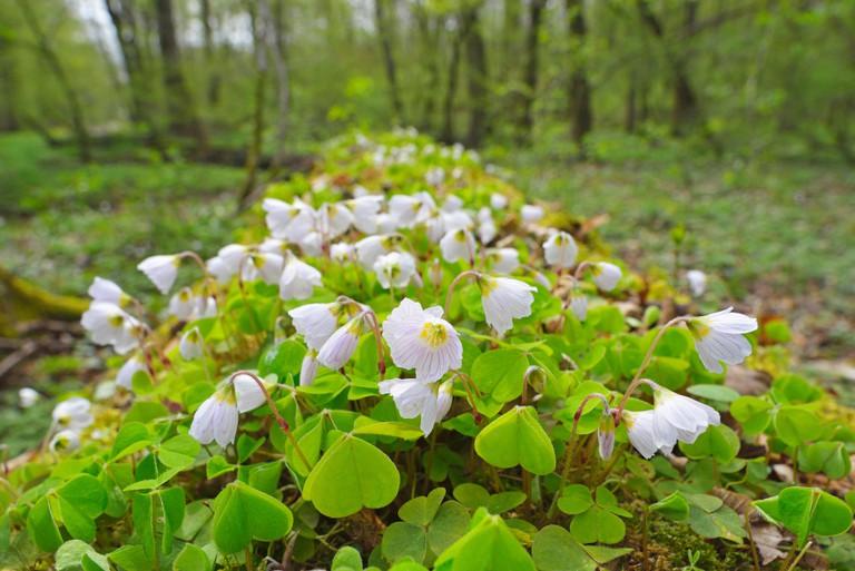 common wood sorrel, wood-sorrel, Irish shamrock (Oxalis acetosella), blooming on forest ground, Germany, Hesse