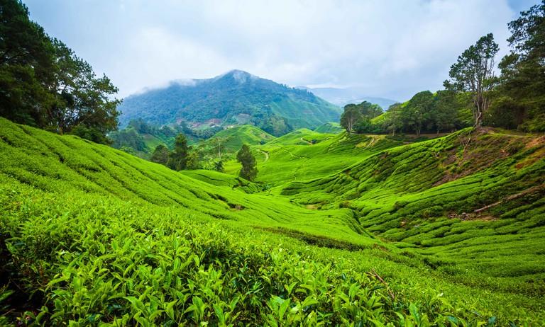 Tea plantation on hill slopes in Cameron Highlands