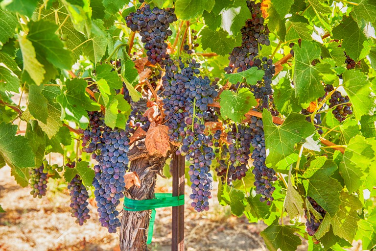 Ripe Syrah Grapes In The Vineyard