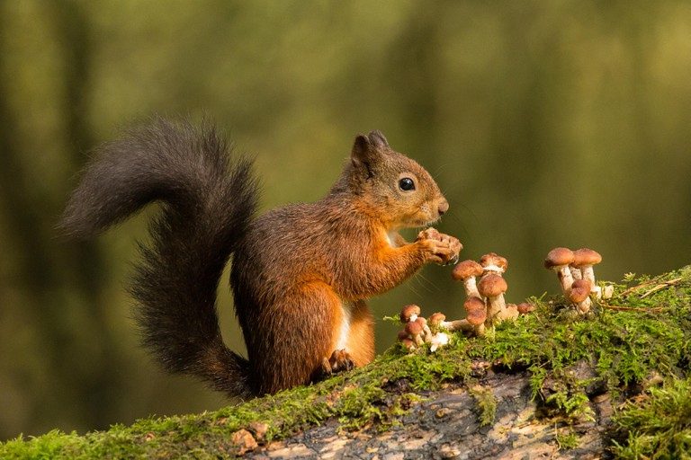 Red Squirrel and Toadstools
