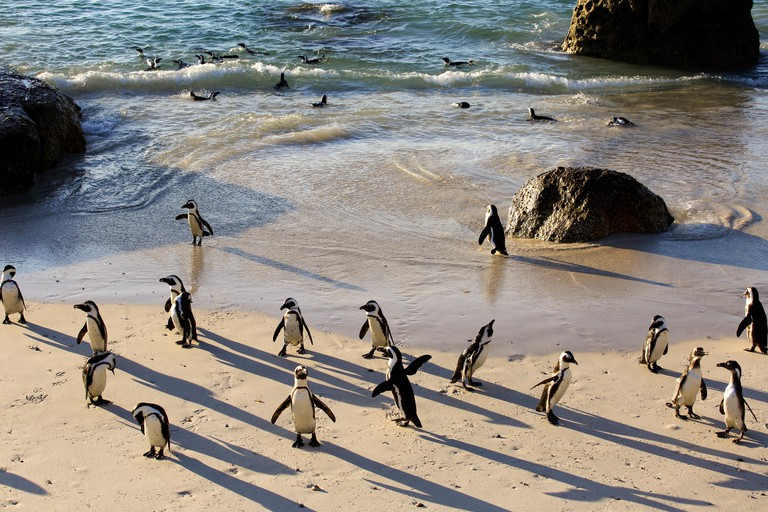 African penguin (Spheniscus demersus) colony at Boulders Beach, Cape Town