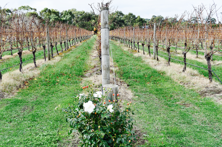 Growing tradition on the Peninsula to have roses planted at the end of each vine row. © Jessica Poulter