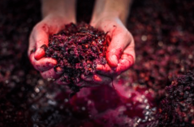 Montalto's Pinot noir ready for pressing | Image courtesy of Montalto Vineyard