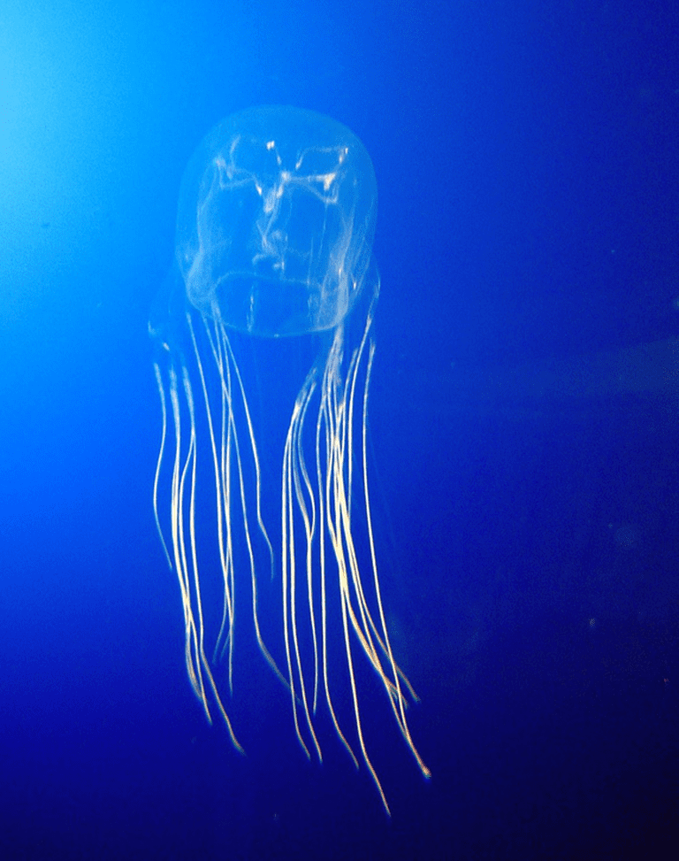Box Jellyfish   © Mithril / WikICommons