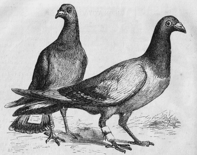An engraving of carrier pigeons from the Harper's New Monthly Magazine, No. 275, April, 1873 │ © Unknown author / WikiCommons