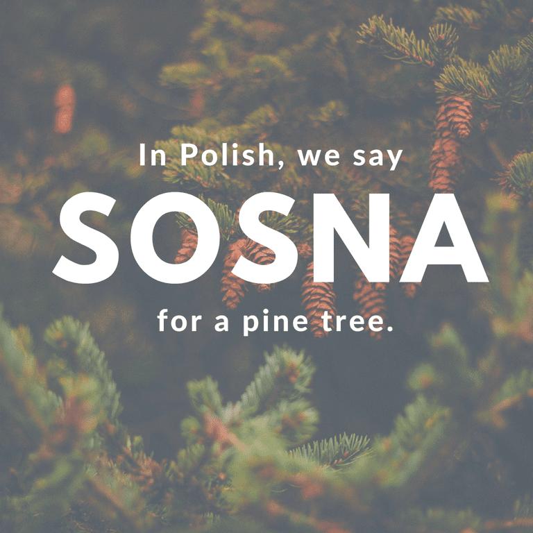 Sosna-Pine Tree © Culture Trip/Ewa Zubek