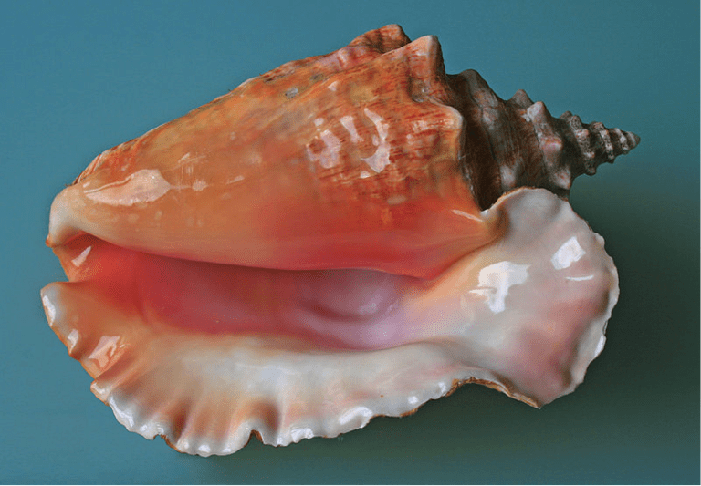 The Queen Conch | © chessy42 / WikiCommons