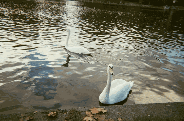 Swans in Berlin | Courtesy of Adam Lempel