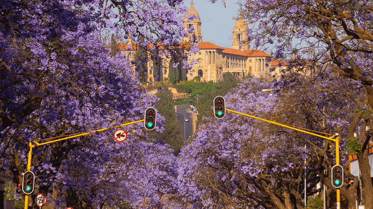 What To Know About South Africas Majestic Jacaranda Trees