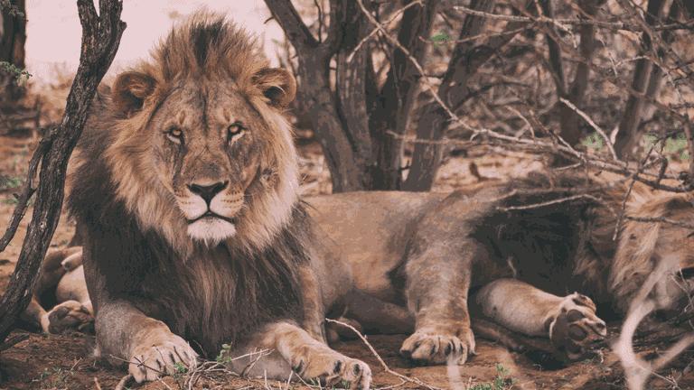 Lion (2)-min