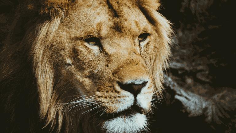 Lion-min