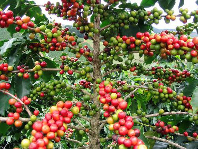 Coffee Fruits