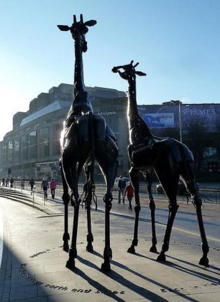 Edinburgh Giraffes