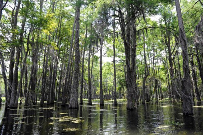 Cypress Swamps / Courtesy of NewOrleansOnline.com