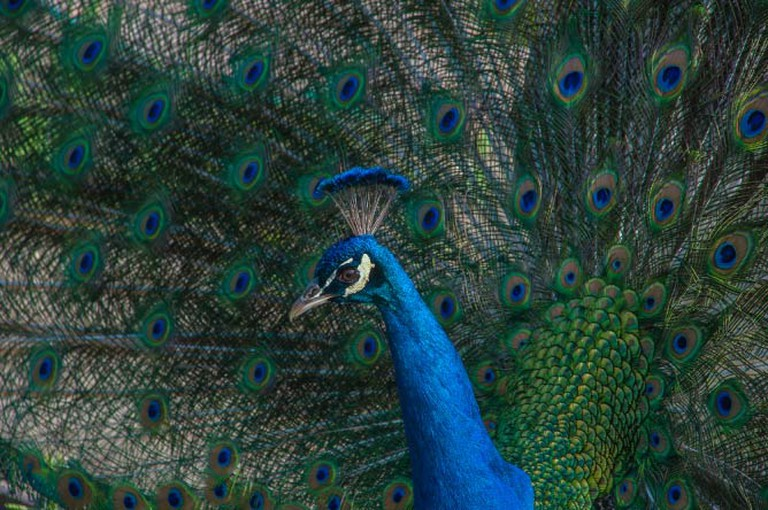 A beautiful peacock at Kelsey See Canyon Vineyards | © Anita Ritenour/Flickr