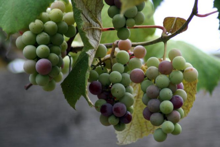 Wine grapes and leaves