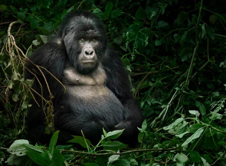 Mountain Gorilla, Uganda   © Weesam 2010 / Flickr