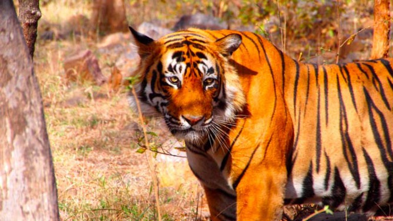 Tiger in Ranthambore National Park, India   © Bjoern, Flickr