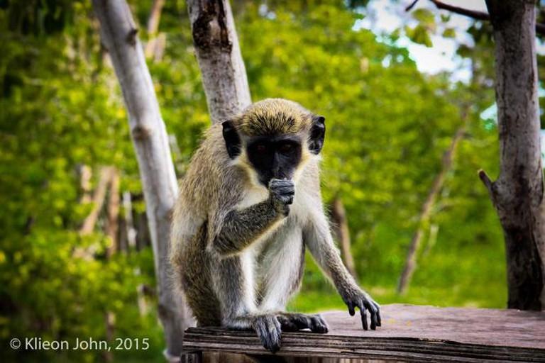 Vervet Monkey in Nevis. (c) Klieon John, 2015.