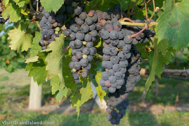 Grapes ripening at Moonlight Ridge Vineyard | © Visit Grand Island/Flickr