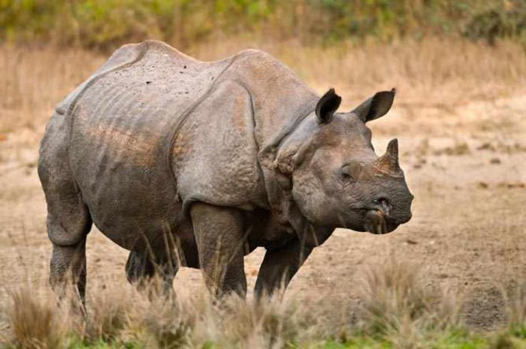 Extinction Tourism – The Javan Rhino | © Cooltobekindtoanimals/Wikicommons
