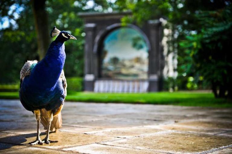 A peacock in the Larmer Tree Gardens | Courtesy of Larmer Tree Gardens