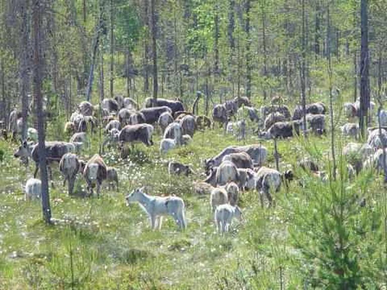 Summer reindeer herd in Rovaniemi