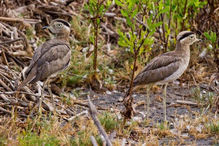Huerequeque birds | © Ernesto Benavides