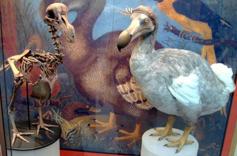 Skeleton cast and model of dodo at the Oxford University Museum of Natural History | © Wikicommons