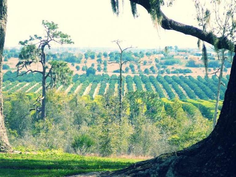 Florida Orange Grove | Courtesy of WikiCommons