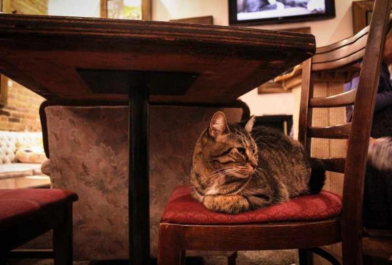 cat at Café Chat l'heureux, Montreal