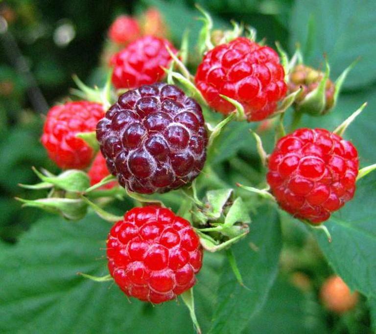 Wild raspberries in Minnesota
