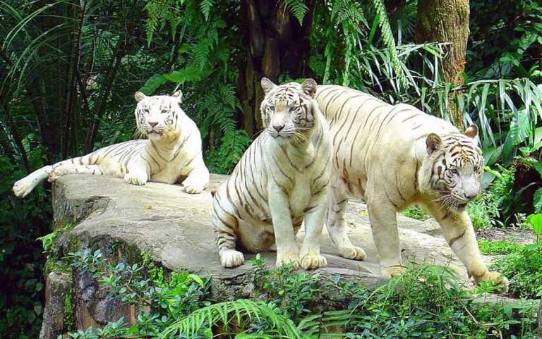 Rare white tigers | © Eustaquio Santimano/Flickr