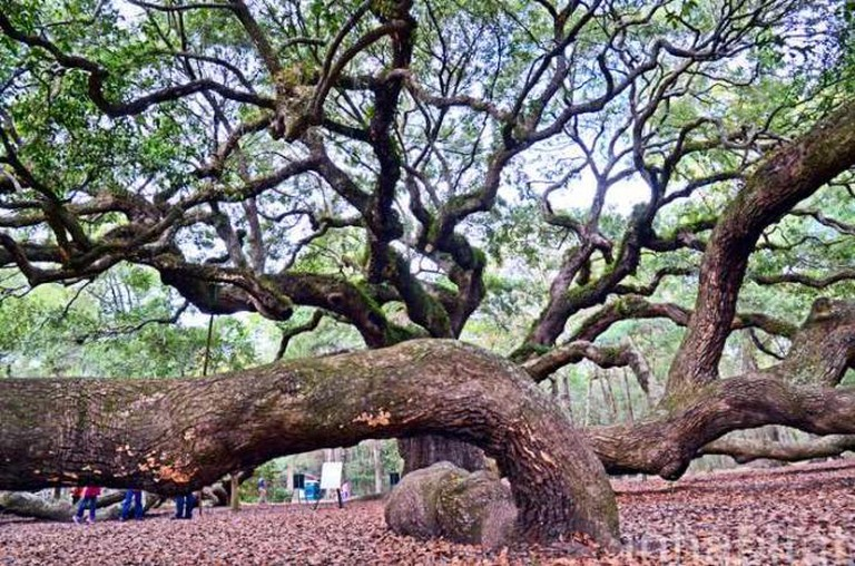 Angel Oak Tree | © Inhabitat Blog/Flickr
