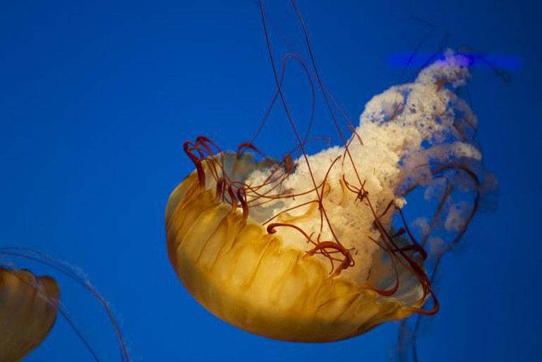 National Aquarium - Jellyfish | © cj13822/Flickr