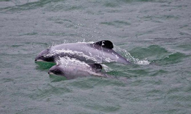 Hector's dolphins, Akaroa harbour | © Allan Harris/Flickr